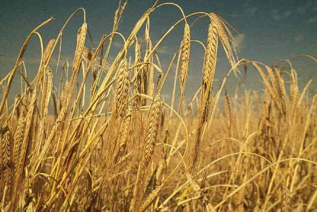 barley in ancient rome