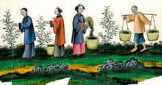 Tea cultivation in ancient China