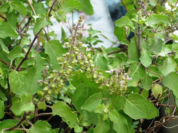 Tulsi, basil plant
